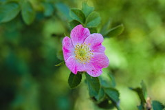 Flower! (chrisvantoor) Tags: flower nature summer outside canon eos m5 32mm green pink