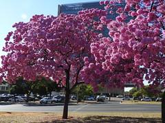 Ipês em Brasília (Alexandre Marino) Tags: ipêroxo brasília flores flowers árvores trees ipês