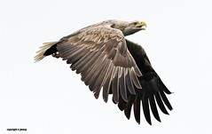white tailed sea eagle J78A0577 (M0JRA) Tags: scotland isles mull sea water waves boats reflections land birds holidays vacations sky clouds sunset sun deer fields roads eagles