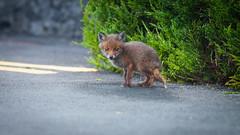 Urlaub_2019 (136) (uwesacher) Tags: urlaub 2019 juni county mayo ireland cong fox fuchs