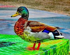 Green Mallard Duck - Disneyland (stevblock) Tags: green mallard duck disneyland