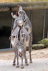 grevy zebra Artis 094A1037 (j.a.kok) Tags: animal artis africa afrika zoogdier zebra grevyzebra grevy´szebra equusgrevyi