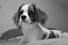 Ruby (b.marina22) Tags: monochrome noiretblanc blenheim charles king cavalier baby dog chien