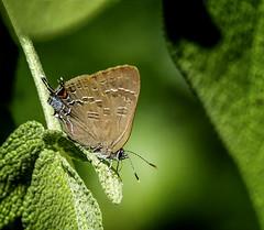 Sour Sip (Portraying Life, LLC) Tags: cropapsc da3004 hd14tc k1mkii michigan pentax ricoh topazaiclear unitedstates butterfly closecrop handheld nativelighting garden sage sip
