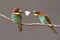 European Bee-eater - Bienenfresser (rengawfalo) Tags: meropsapiaster bienenfresser beeeater bird birder birding wildlife outdoor vogel vögel singvögel singvogel natur nature tiere