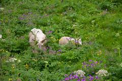 IMG_9839 (hhwilhelm) Tags: europe iceland seljalandsfoss animal animals creature creatures lamb livestock sheep zoology