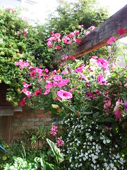 Extremely Pink (vw4y) Tags: petunias pink vigorous thriving garden towngarden