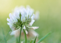 In the clover (Heathermary44) Tags: cloverflower clover flower blooming wildflower weed floral flowerhead delicate pastelcolours summer pink white closeup macro nature naturephotography heatherthorsen