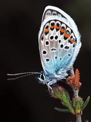 Silver-studded Blue (edmerr) Tags: butterfly silverstuddedblue dark insect heath heather heathland hampshire june