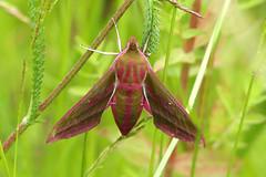 Photo of Elephant Hawk Moth