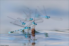 Damselflies Invading a Stick. (Daniel Cadieux) Tags: damselfly damselflies commonbluedamselfly perched perch perching water insect blue ottawa pond marsh swamp wetlands group fly flying
