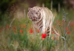 20170530_00857-Bearbeitet.jpg (markus.eymann@hotmail.ch) Tags: wiese drausen raubtier pflanze tiger raubkatze katalog tier composing natur säugetier