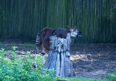 Okapi (stevesheriw) Tags: florida orlando waltdisneyworld disney okapi kilimanjarosafaris animalkingdom