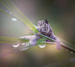 20170918_01459-Bearbeitet.jpg (markus.eymann@hotmail.ch) Tags: grün ungesättigt pflanze tiger säugetier grau katalog tier blatt bokeh natur kontrastarm composing