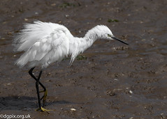 Little Egret (Danny Gibson) Tags: egret egrets littleegret heron bird birds birdwatching birding birdwatcher birder nature naturephotography wildlife wildlifephotography