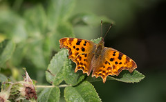 Jagged (music_man800) Tags: polygonia calbum comma butterfly butterflies insect animal animals wildlife nature lepidoptera outdoors natural flora fauna orange wings jagged edges bask sun sunny june day 2019 uk united kingdom benfleet shipwrights wood meadow ride canon 700d adobe lightroom creative cloud edit photography macro lens prime sharp focus sigma 150mm arty artistic bramble green leaf leaves trees hedge