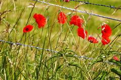 _poppy & fence (SpitMcGee) Tags: poppy mohn fence zaun hff happyfencefriday epen limburg holland niederlande spitmcgee