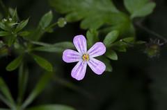 Herb Robert (Mike Serigrapher) Tags: flower garden woodley stockport macro 100mm herbrobert geranium robertium cranesbill pink