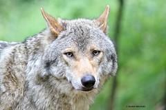 Amersfoort (Karin Michies) Tags: amersfoortzoo dierentuinamersfoort dierentuin zoo amersfoort dieren dierenfotografie iloveanimals ilovethezoo animalphotography animals wolf
