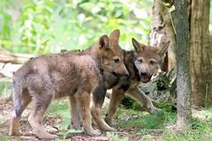 Amersfoort (Karin Michies) Tags: amersfoortzoo dierentuinamersfoort dierentuin zoo amersfoort dieren dierenfotografie iloveanimals ilovethezoo animalphotography animals wolf pup