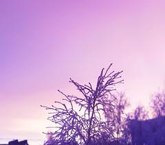 Серенивый закат береза зима (Nanaccept) Tags: сереневый закат синий снежно снег зима береза градиент фон cmm nanaccept