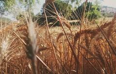 (yol açık yola çık) Tags: wheat yellow nature green trees sky mountains