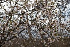 Karmaşıklık İçindeki Badem Çiçeklerinin Güzelliği (Beauty of Almond Flowers in Complexity) (SBastan) Tags: anatolia ağaçlar anadolu asia beauty calmandpeace doğa environment foliage flowers gorgeous h2o harika hayat huzur iloveturkey life nature nikond610 nikon photography perfect plants serhatbaştan sbastan splendid türkiyeyiseviyorum türkiye turkey travel trees tamronsp2470mmf28divcusd