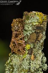 The Campion (Sideridis rivularis) (gcampbellphoto) Tags: the campion sideridis rivularis moth insect macro nature wildlife ireland gcampbellphoto
