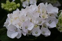 Hydrangea (François dt) Tags: canon 6dmarkii canon6dmarkii nature flower gardenflower