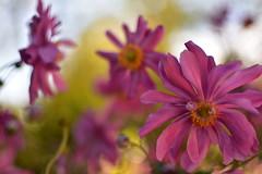 BUEN FIN DE SEMANA (su-sa-ni-ta) Tags: sunset flores floralnature naturaleza colores vacaciones invierno julio 2019 bay holiday flowers colors closeup macro foco naturalsplendor love