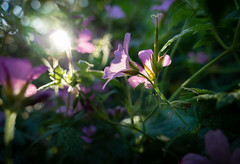Sneak around the garden (2) (bohelsted) Tags: garden home rødovre denmark geranium em5markii varioelmarit leicadg 1260 lensflare lens flare