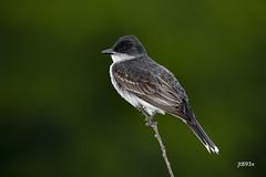 Eastern Kingbird (jt893x) Tags: 150600mm bird d500 easternkingbird flycatcher jt893x kingbird nikon nikond500 sigma sigma150600mmf563dgoshsms songbird tyrannustyrannus thesunshinegroup coth alittlebeauty coth5 ngc