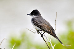 Eastern Kingbird (jt893x) Tags: 150600mm bird d500 easternkingbird flycatcher jt893x kingbird nikon nikond500 sigma sigma150600mmf563dgoshsms songbird tyrannustyrannus alittlebeauty coth thesunshinegroup coth5 sunrays5 ngc