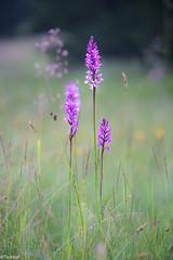 Trio (Tschissl) Tags: orchideen flowers leobenumgebung austria orchids pflanzen location blumen dactylorhiza steiermark österreich