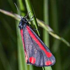 Cinnabar Moth (Craig Hannah) Tags: insect bugs wildlife nature outdoors countryside macro canon closeup saddleworth westriding yorkshire oldham greatermanchester england uk craighannah june 2019 photography photos cinnabarmoth moth