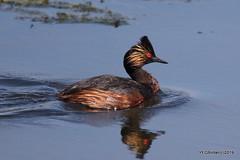 Eared Grebes (YEGBirder) Tags: johnepooleboardwalk grebe earedgrebe wetlands