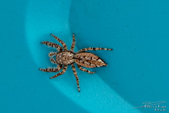 Marpissa muscosa (PvRFotografie) Tags: nederland holland nature natuur animals animal dieren dier insects spin spider closeup close macro fujifinepixxpro2 fujixpro2 35mm fujixf35mmf20rwr