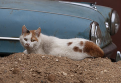 cat and old car (Lyutik966) Tags: cat animal pet sand muzzle eyes car headlight uglich russia alittlebeauty coth5 littledoglaughedstories
