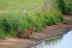 """Naturschutzgebiet """"Versmolder Bruch"""" (ernst.ruhe) Tags: reh nsg nsgversmolderbruch natur naturschutzgebietversmolderbruch"""