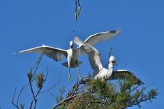 aigrette garzette 19D_3604 (Bernard Fabbro) Tags: aigrette garzette little egret oiseau bird