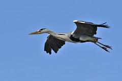 héron cendré 19D_2017 (Bernard Fabbro) Tags: héron cendré grey heron oiseau bird