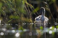 Cygne tuberculé - Cygnus olor (Sven Normant) Tags: cygne bird oiseau bretagne bzh eau