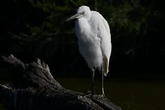 aigrette garzette 19D_3258 (Bernard Fabbro) Tags: aigrette garzette little egret oiseau bird