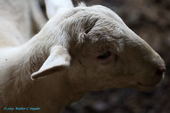 Standing in the Shadows No 3...Angelic Tangle (Walt Snyder) Tags: canoneos5dmkiii canonef100400mmf4556l farm animals sheep wool portrait nose lamb barn shadows