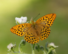 Silver-washed Fritillary Argynnis paphia (Iain Leach) Tags: wildlifephotography photograph image wildlife nature iainhleach wwwiainleachphotographycom canon canoncameras photography macro macrophotography closeup butterfly moth lepidoptera insect invertebrate silverwashedfritillary argynnispaphia