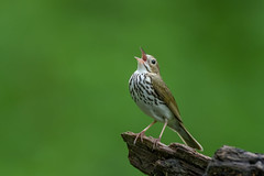 Ovenbird (Joe Branco) Tags: green grass macro lightroom photoshop ontario canada branco joe birds bird nature nikon wildlife joebrancophotographer nikond850 ovenbird