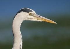 Grey heron (PhotoLoonie) Tags: heron greyheron bird wildlife nature wadingbird