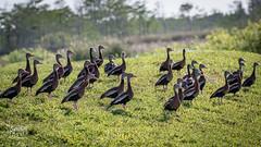 Black bellied bonanza in a friend's back yard (spensered) Tags: waterfowl duck ducks whistlingducks