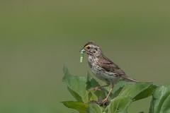 Bruant Des Prés / Savannah Sparrow (ALLAN .JR) Tags: bruantdesprés savannahsparrow bird nature wildlife arboretum parcsdelafrayèreetdesvoiles oiseau nikon faune