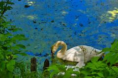 IMG_5991 (gidlark) Tags: flora plant water pond bird swan дендропарктростянець